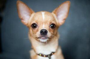 Chihuahua. dog, pets