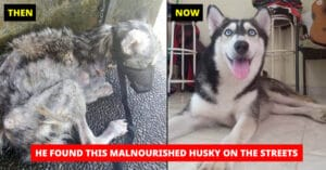 Before and After Husky