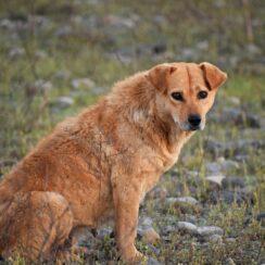 Stray Dog of Thailand