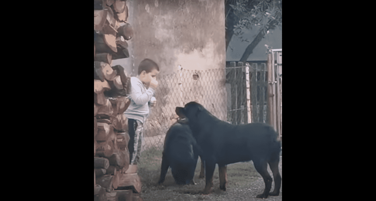 Rottweilers with a boy