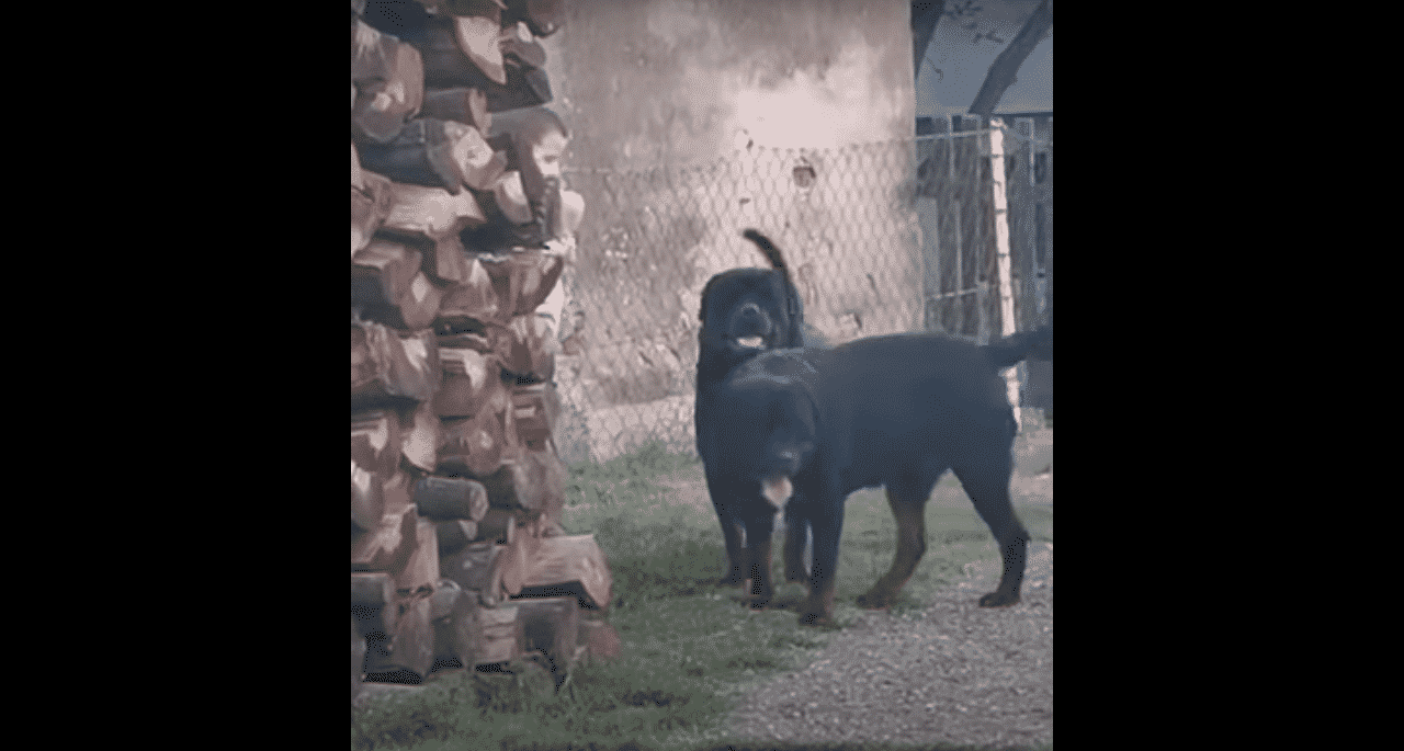 Rottweilers 2