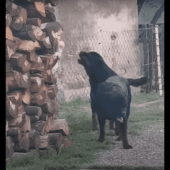 Rottweilers 4