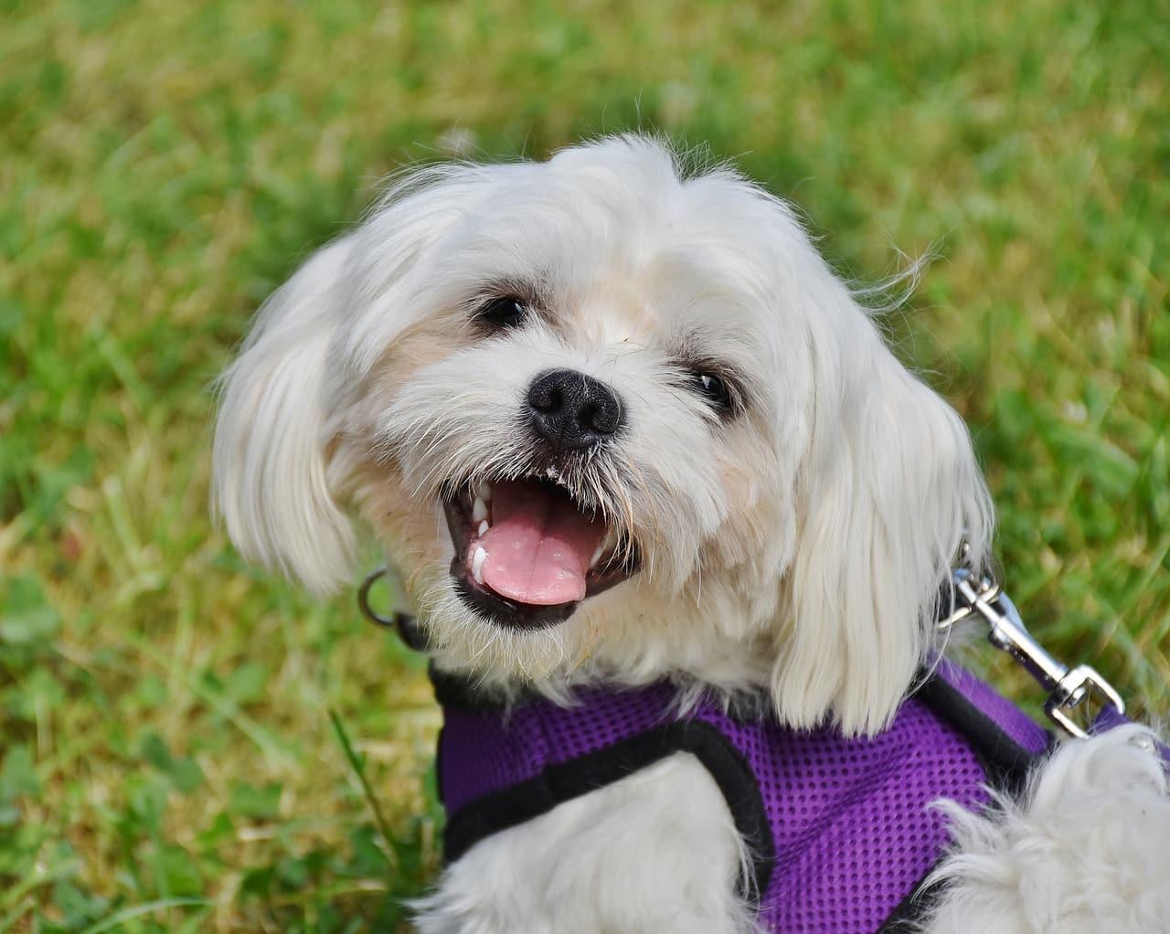 dog, maltese, small