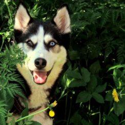 Siberian Husky Found