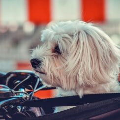 dog, maltese, animal