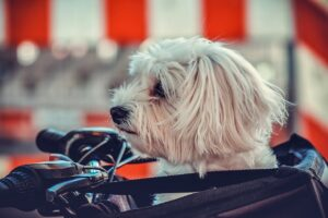 dog, maltese, animal