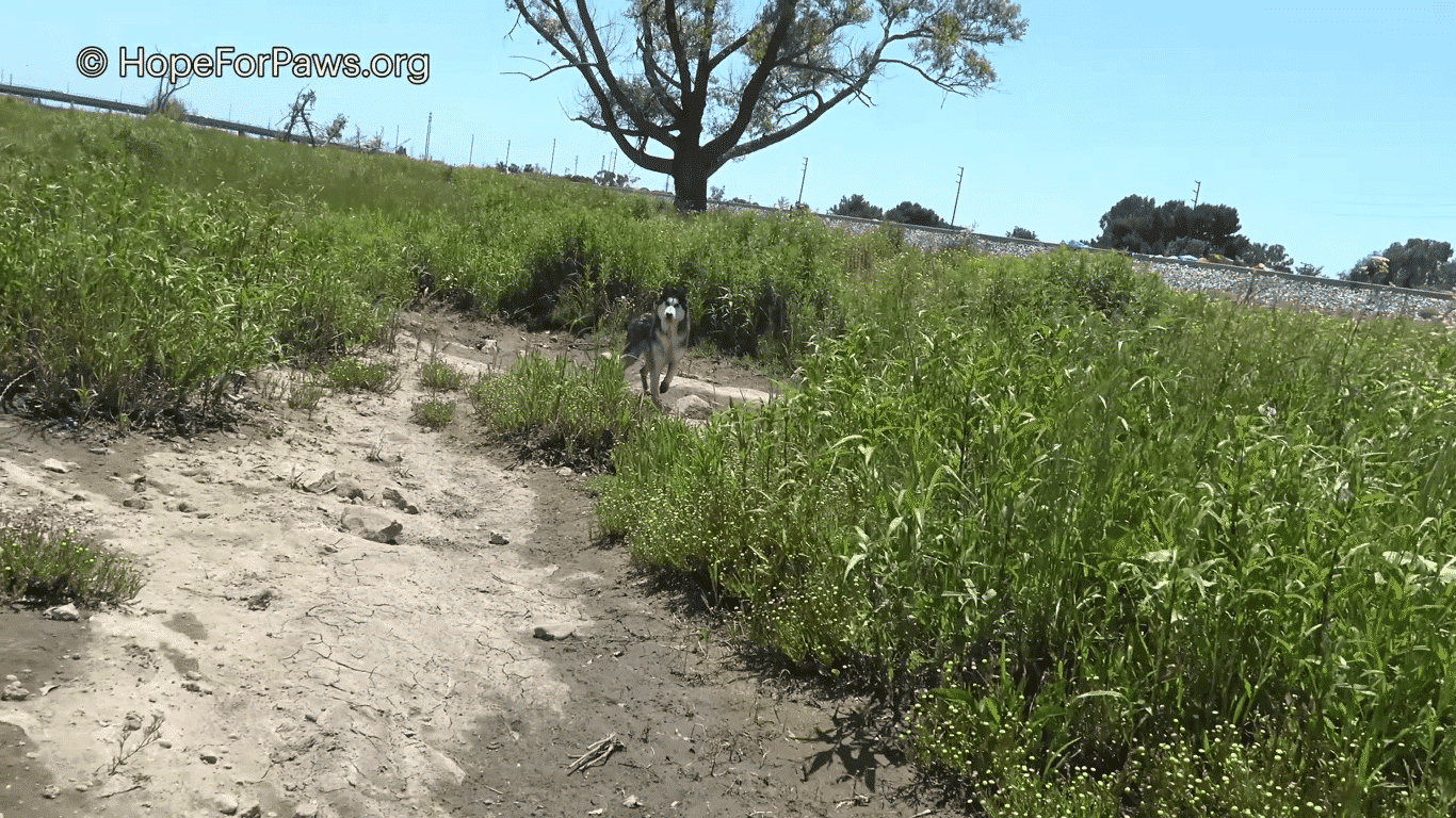 Spooked Siberian Husky