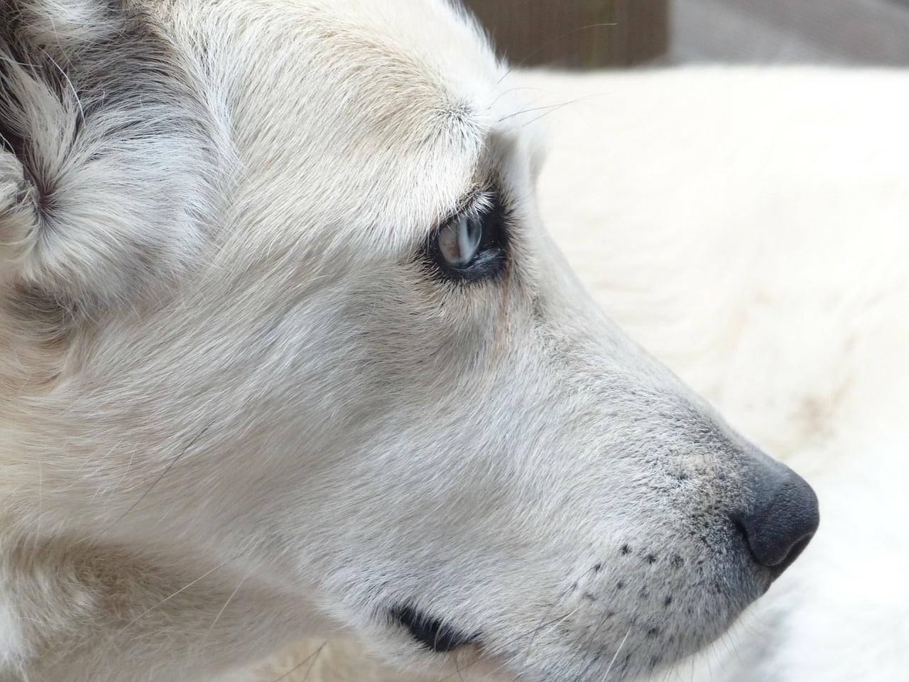 dog, white, face