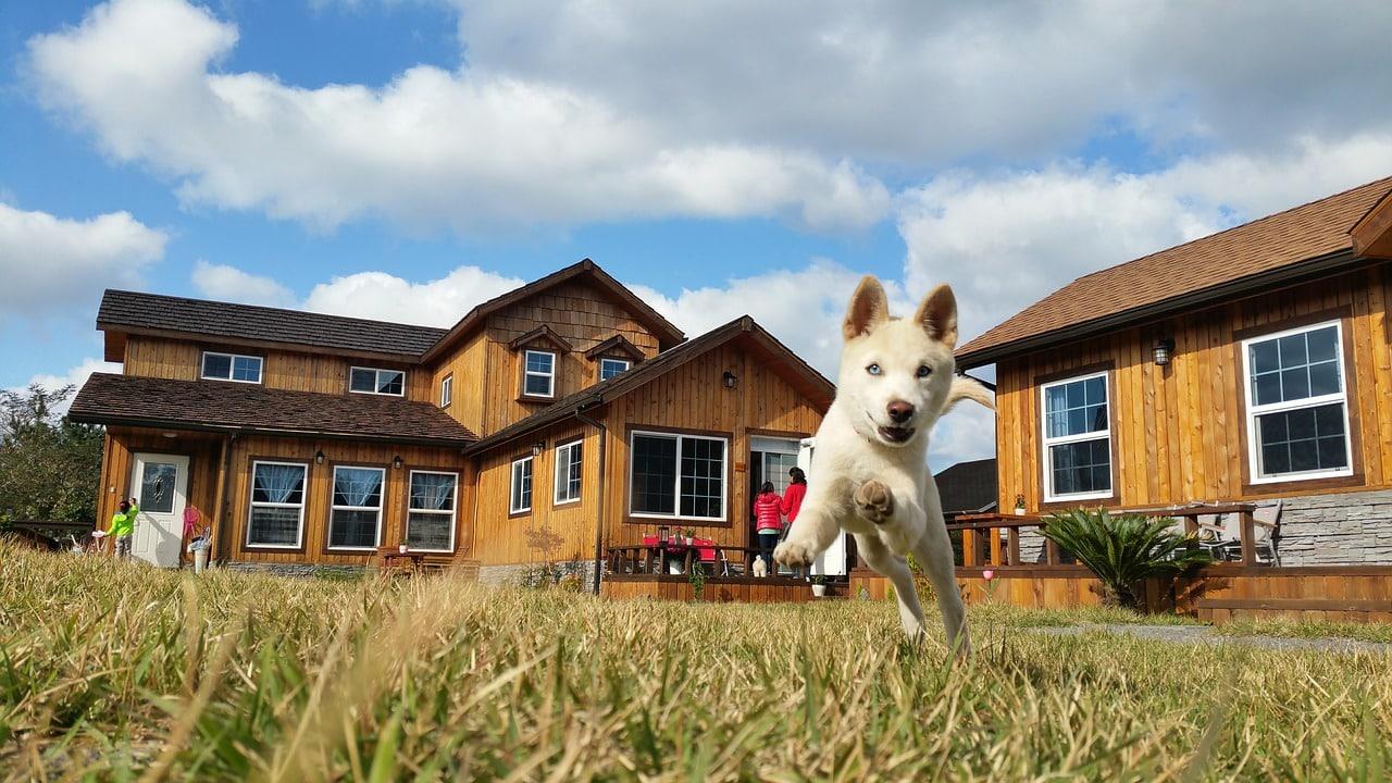 korean jindo, dog breed, korean jindo dog